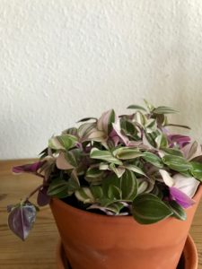 Ugens plantecrush - Tradescantia Tricolor